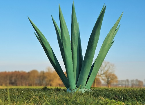 Agave - XXL Pflanze